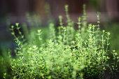 herb garden close-up