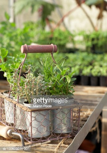 Herb pots in metal basket in greenhouse