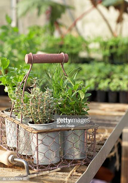 Herb pots in metal basket in greenhouse