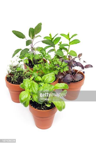 Herb Topfpflanzen Auswahl in Blume Töpfen, Setzlinge auf Weiß