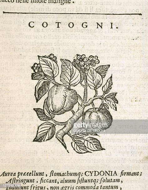Herbal 16th century Castore Durante Herbario Novo 1585 Plate Cotogni Quince Engraving Published by Gian Giacomo Hertz Venice 1684