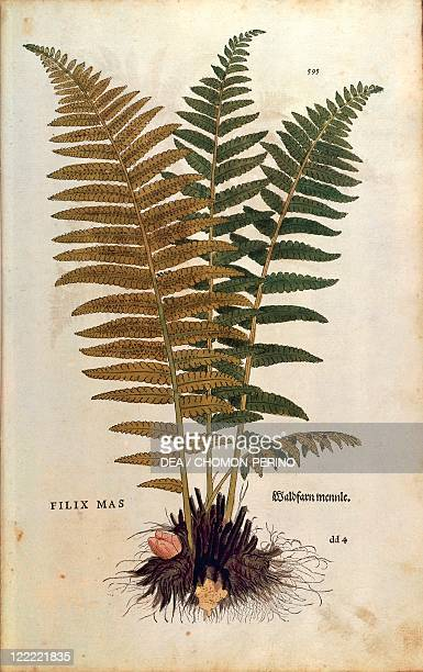 Herbal 16th century Leonhart Fuchs De historia stirpium commentarii insignes 1542 Plate Male fern Colored engraving