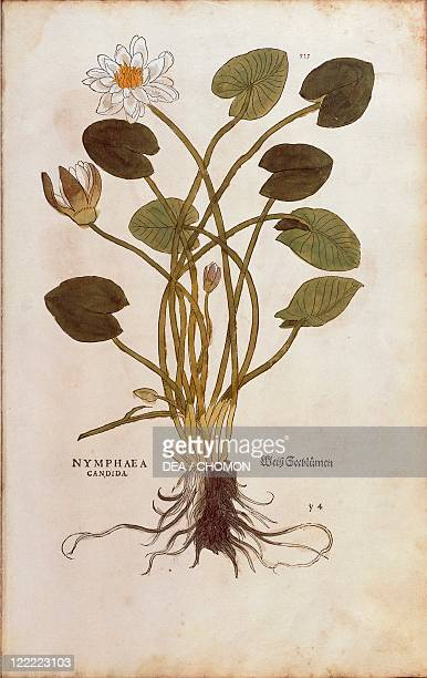 Herbal 16th century Leonhart Fuchs De historia stirpium commentarii insignes 1542 Plate European White Waterlily or White Lotus Nymphaea alba Colored...