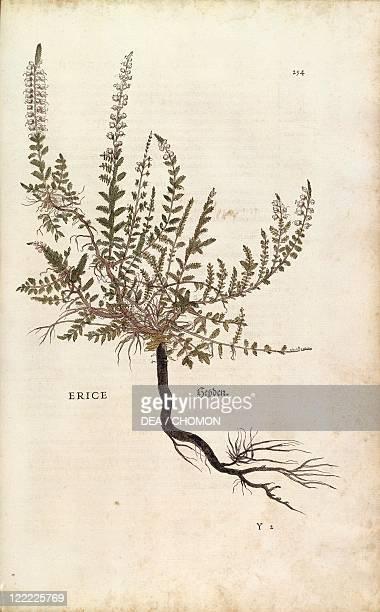 Herbal 16th century Leonhart Fuchs De historia stirpium commentarii insignes 1542 Plate Heather Calluna vulgaris Colored engraving