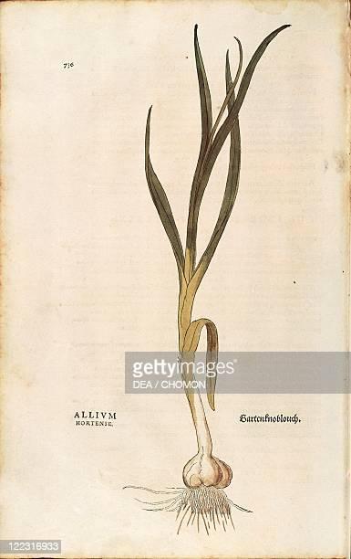 Herbal 16th century Leonhart Fuchs De historia stirpium commentarii insignes 1542 Plate Garlic Allium sativum Colored engraving