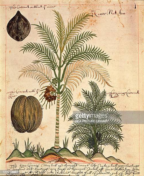 Herbal 17th century A History of East Indian Trees and Plants and of their Medicinal Properties 16001625 Plate palm trees coconut palm from the East...