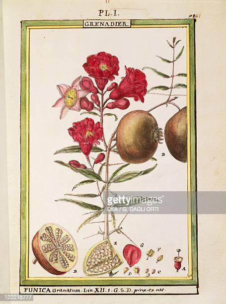 Herbal 18th century Florindie ou Historie physicoeconomique des vegetaux de la Torride 1789 Plate Pomegranate Watercolor by Delahaye