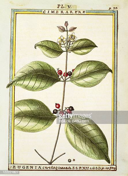 Herbal 18th century Florindie ou Historie physicoeconomique des vegetaux de la Torride 1789 Plate Eugenia Carthaginensis Watercolor by Delahaye