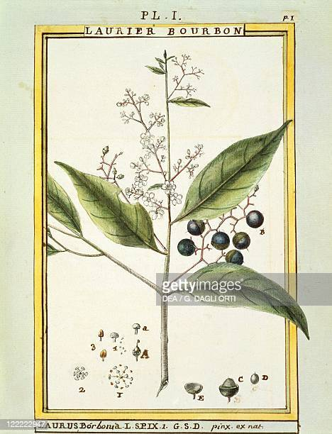 Herbal 18th century Florindie ou Historie physicoeconomique des vegetaux de la Torride 1789 Plate Red Bay Watercolor by Delahaye