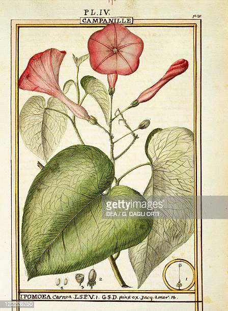 Herbal 18th century Florindie ou Historie physicoeconomique des vegetaux de la Torride 1789 Plate Pink Morning Glory Watercolor by Delahaye