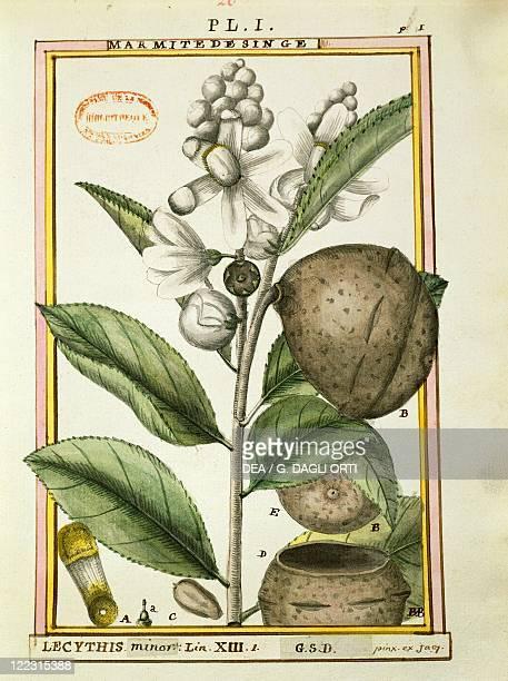 Herbal 18th century Florindie ou Historie physicoeconomique des vegetaux de la Torride 1789 Plate Monkeypot nuts Watercolor by Delahaye