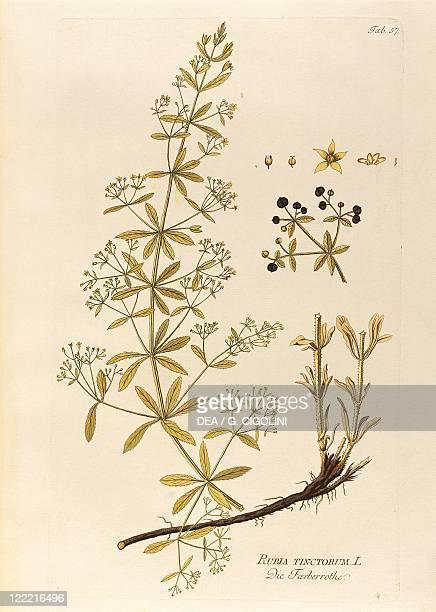 Herbal 18th century Joseph Jacob Plenck Icones Plantarum Medicinalium 1794 Plate Common Madder