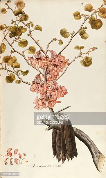 Herbal 18th19th century Iconographia Taurinensis Volume III Plate 19 by Francesco Peyrolery Judas Tree Fabaceae Deciduous tree native to...