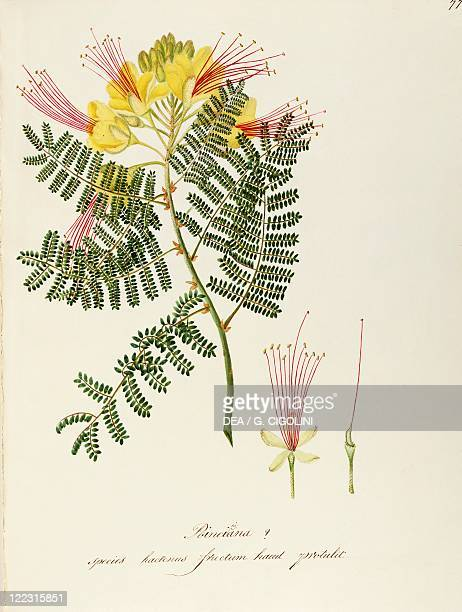 Herbal 18th19th century Iconographia Taurinensis Volume L Plate 77 by Maddalena Lisa Mussino Peacock flower or Barbados pride Fabaceae Warm...