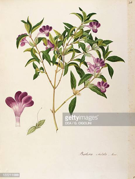 Herbal 18th19th century Iconographia Taurinensis Volume LII Plate 34 by Angela Rossi Bottione Acanthaceae Philippine violet Temperate greenhouse...