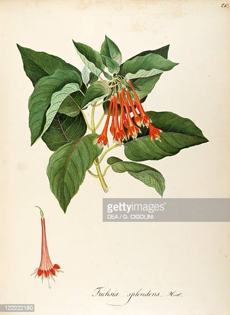 Herbal 18th19th century Iconographia Taurinensis Volume LVI table 26 by Maddalena Lisa Mussino Onagraceae Fuchsia splendens Zucc Indoor or temperate...
