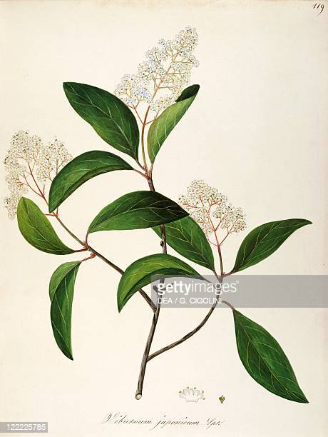 Herbal 18th19th century Iconographia Taurinensis Volume LVIII table 119 by Maddalena Lisa Mussino Caprifoliaceae Wayfaring Tree Shrub with persistent...