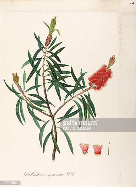Herbal 18th19th century Iconographia Taurinensis Volume LVIII table 24 by Maddalena Lisa Mussino Myrtaceae Albany Bottlebrush Shrub with persistent...