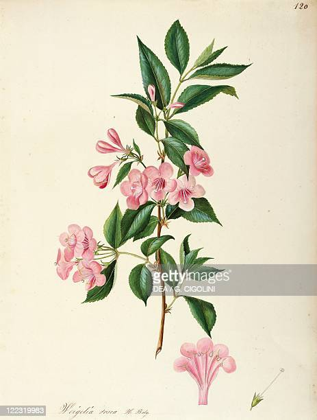 Herbal 18th19th century Iconographia Taurinensis Volume LVIII table 120 by Maddalena Lisa Mussino Caprifoliaceae Old Fashioned Weigela Deciduous...