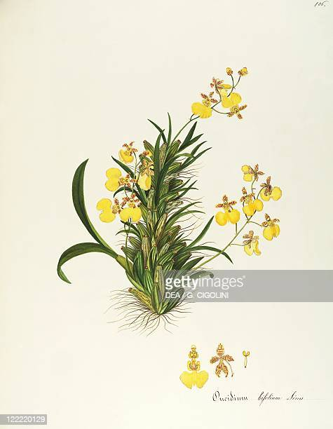 Herbal 18th19th century Iconographia Taurinensis Volume LXI Plate 106 by Maddalena Lisa Mussino Orchid Orchidaceae Indoor or warm greenhouse...