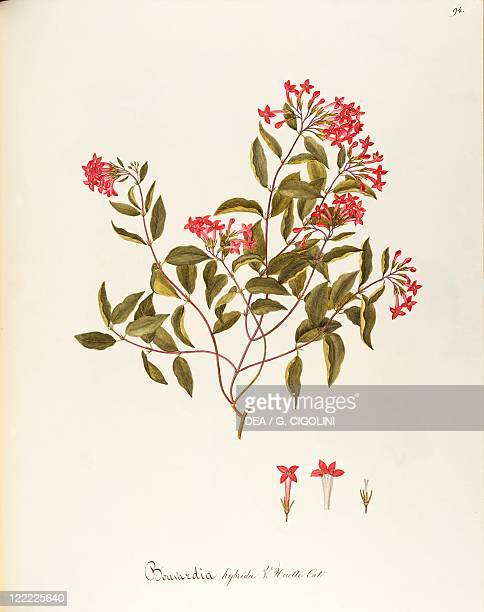 Herbal 18th19th century Iconographia Taurinensis Volume LXII table 94 by Maddalena Lisa Mussino Rubiaceae Temperate greenhouse shrub with persistent...