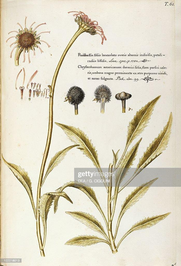 Herbal 18th19th century Iconographia Taurinensis Volume XI Table 61 by Francesco Peyrolery Asteraceae or Compositae Eastern purple coneflower...