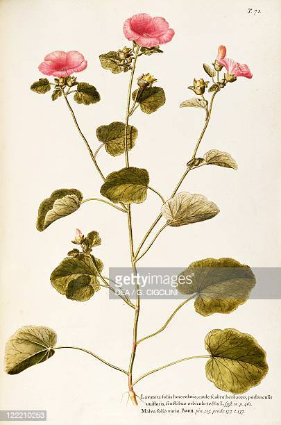 Herbal 18th19th century Iconographia Taurinensis Volume XII Plate 71 by Francesco Peyrolery and Giovanni Antonio Bottione Annual Mallow Malvaceae...