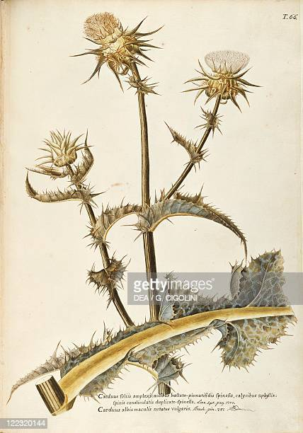 Herbal 18th19th century Iconographia Taurinensis Volume XIV Table 66 by Francesco Peyrolery Asteraceae or Compositae 1 Milk Thistle Herbaceous annual...