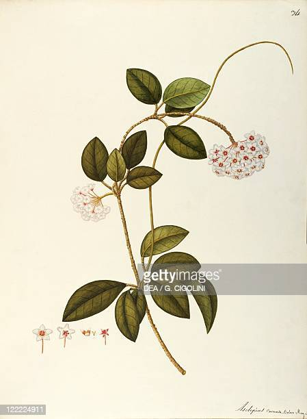 Herbal 18th19th century Iconographia Taurinensis Volume XLI Plate 34 by Angela Rossi Bottione Asclepiadaceae Wax Plant Warm greenhouse plant with...