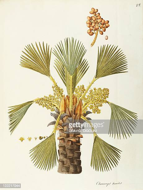 Herbal 18th19th century Iconographia Taurinensis Volume XLII Plate 82 by Angela Rossi Bottione European Fan Palm Arecaceae Palm for shrub or rock...