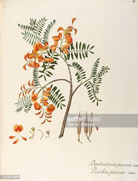 Herbal 18th19th century Iconographia Taurinensis Volume XLIX Plate 65 by Angela Rossi Bottione and coworkers Rattle Box or Rattle Bush Fabaceae...