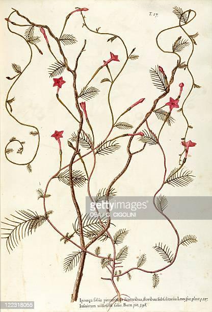 Herbal 18th19th century Iconographia Taurinensis Volume XVI Plate 17 by Giovanni Antonio Bottione Convolvulaceae Cypressvine or Cardinal Climber...