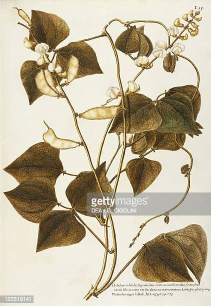 Herbal 18th19th century Iconographia Taurinensis Volume XX Plate 58 by Giovanni Antonio Bottione Hyacinth Bean Fabaceae Annual herbaceous plant...