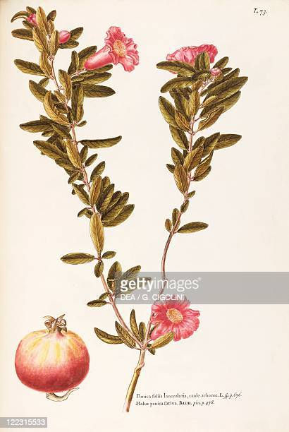Herbal 18th19th century Iconographia Taurinensis Volume XXI Plate 73 by Giovanni Antonio Bottione Punicaceae Pomegranate Deciduous tree cultivated...