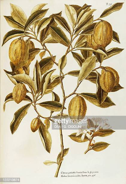 Herbal 18th19th century Iconographia Taurinensis Volume XXII Plate 35 by Giovanni Antonio Bottione Lemon Rutaceae Small tree grown for its fruits...