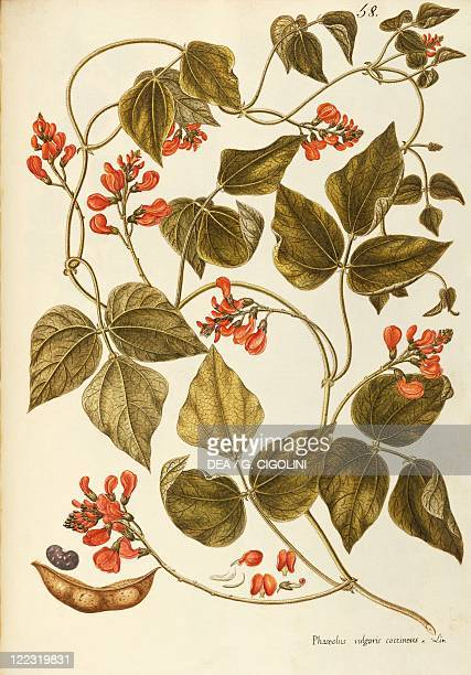 Herbal 18th19th century Iconographia Taurinensis Volume XXIX Plate 58 by Giovanni Antonio Bottione Runner Bean Fabaceae Annual plant native to...