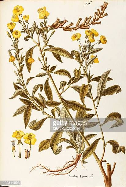 Herbal 18th19th century Iconographia Taurinensis Volume XXIX Plate 76 by Giovanni Antonio Bottione Onagraceae Evening Primrose Herbaceous biennial...