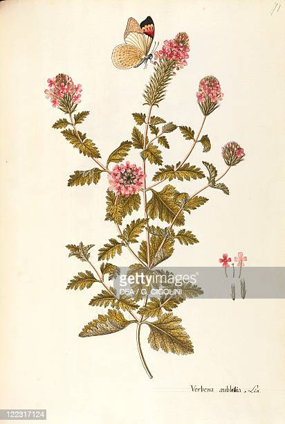 Herbal 18th19th century Iconographia Taurinensis Volume XXXIV Plate 71 by the School of Giovanni Antonio Bottione Verbenaceae Rose Vervain or Clump...