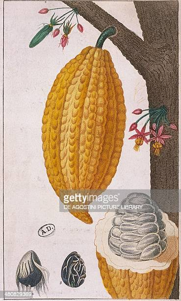 Herbal 19th century Plant and fruit of Cacao tree Color print France