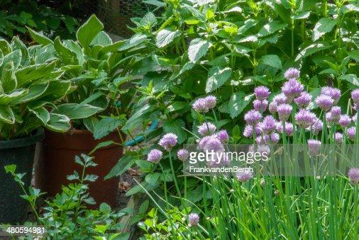 Herbal garden : Stock Photo
