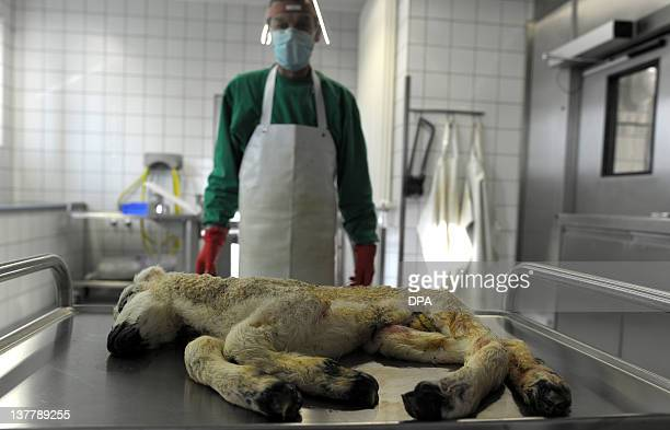 Herbert Puts prepares a deformed lamb for an autopsy and a test on Schmallenberg virus on January 27 2012 at the RheinRuhrWupper office for chemical...