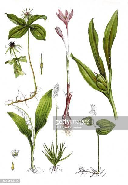 Herbparis Paris quadrifolia autumn crocus meadow saffron Colchicum autumnale Lily of the valley Convallaria majalis TofieldiaTofieldia calyculata...