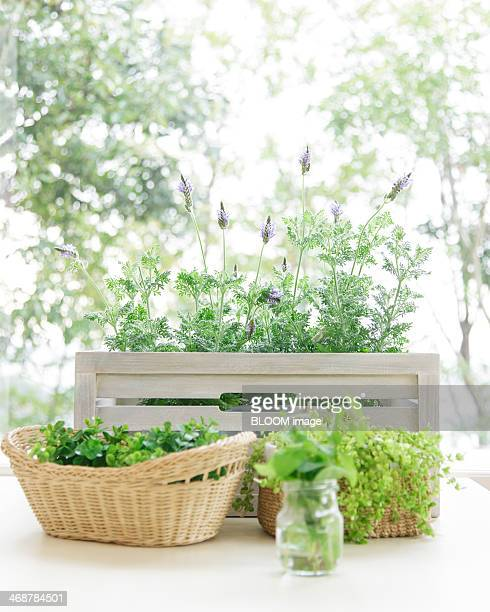 Herbs and lavender on window sill