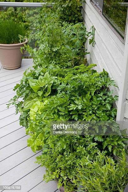 Herbs in pots on balcony