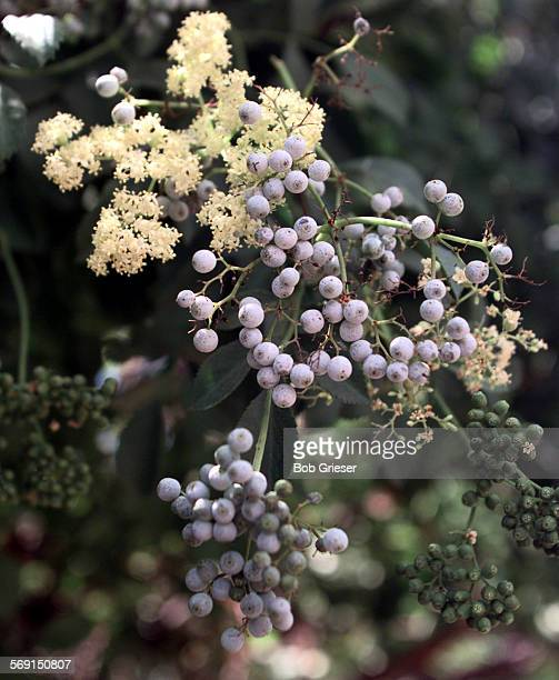 LSherbselderberry3BG13Jun97––Native to California and Baja California is the Elderberry tree or small scrub This small tree on the grounds of the...
