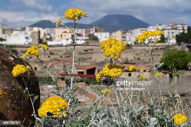 Herculaneum flowers
