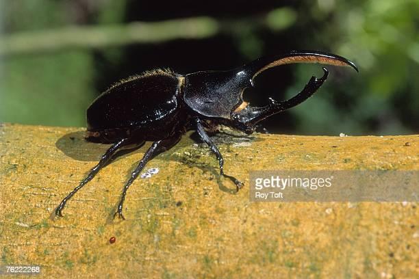 Hercules beetle, Dynastes hercules, Costa Rica