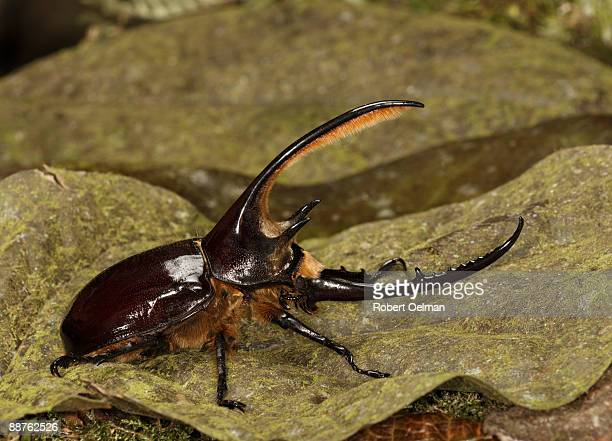 Hercules beetle (Dynastes neptunus) on leaf, Colombia