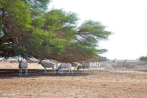 Herd of Addax calmly grazing under desert tree