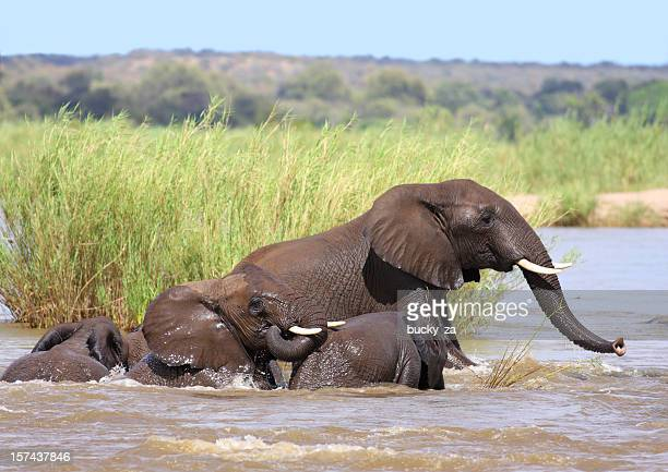 Herd of African Elephant cows and calves in a river